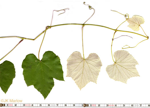 leaves of grape-like species: Vitis labrusca, Vitis labrusca, Vitis labrusca