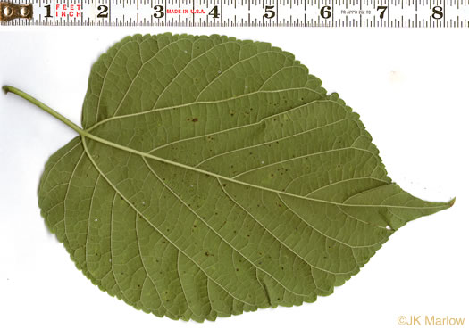 leaves of Mulberry species: Morus rubra, Morus rubra var. rubra, Morus rubra