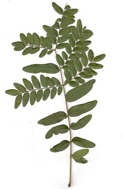 bipinnately or tripinnately compound leaves of trees: Gleditsia triacanthos, Gleditsia triacanthos, Gleditsia triacanthos