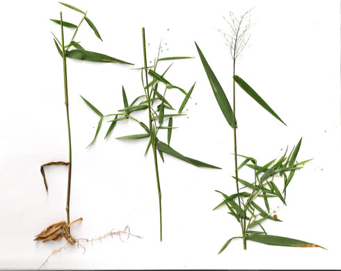 image of Dichanthelium dichotomum var. dichotomum, Forked Witchgrass