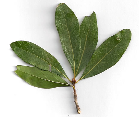 leaf or frond of Quercus laurifolia, Laurel Oak, Swamp Laurel Oak, Diamond Leaf Oak