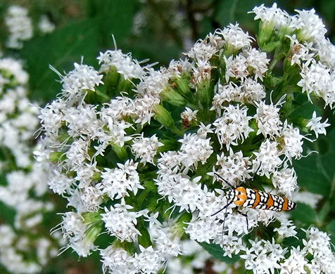 corymb: Ageratina altissima var. altissima, Common White Snakeroot, Common Milk-poison