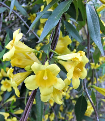 image of Gelsemium sempervirens, Carolina Jessamine, Yellow Jessamine