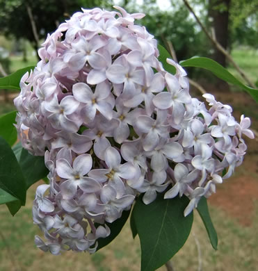 image of Syringa vulgaris, Common Lilac, French Lilac