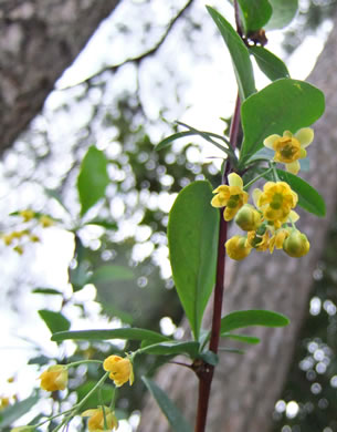 image of Berberis canadensis, American Barberry, Allegheny Barberry