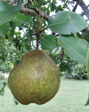 image of Pyrus communis, Common Pear