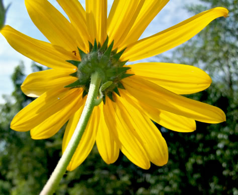 involucral bracts of Sunflowers: Helianthus tuberosus, Helianthus tuberosus, Helianthus tuberosus