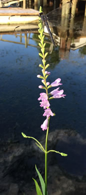 image of Physostegia leptophylla, Tidal Marsh Obedient-plant, Swamp Obedient-plant, Narrowleaf Obedient-plant, False Dragonhead