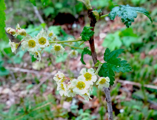 flower of Ribes glandulosum, Skunk Currant, Mountain Currant
