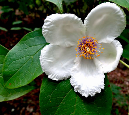 flower of Stewartia ovata, Mountain Camellia, Mountain Stewartia