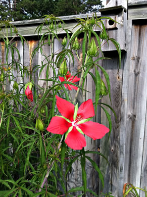 image of Hibiscus coccineus, Scarlet Rosemallow, Scarlet Hibiscus, Swamp Mallow