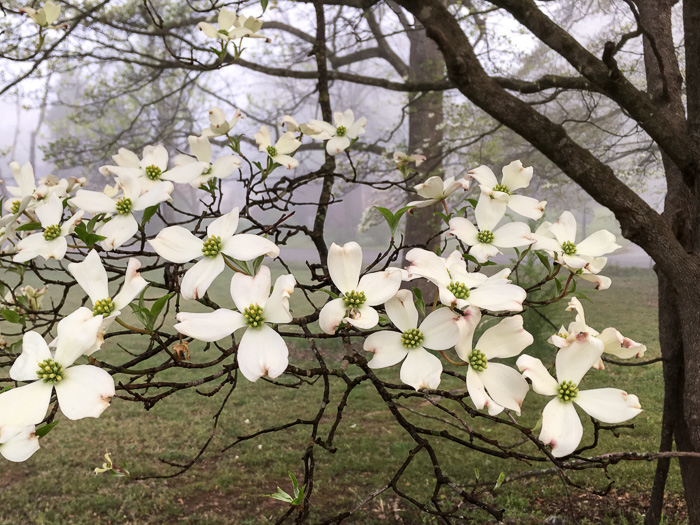 image of Benthamidia florida, Flowering Dogwood