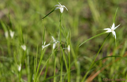 image of Rhynchospora colorata, Narrowleaf Whitetop Sedge, White-bracted Sedge