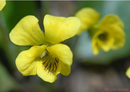 flower of Viola rotundifolia, Round-leaf Yellow Violet, Early Yellow Violet