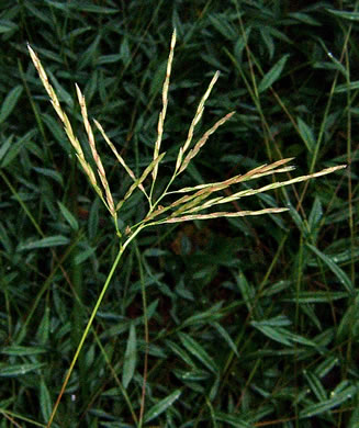 filiform: Arthraxon hispidus var. hispidus, Basket Grass, Small Carpgrass