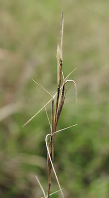 image of Aristida longespica, Southeastern Slim-spike Three-awn