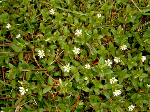 image of Cerastium fontanum ssp. vulgare, Mouse-ear Chickweed