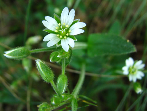 flower of Cerastium fontanum ssp. vulgare, Common Mouse-ear, Mouse-ear Chickweed