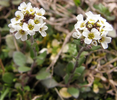 image of Abdra brachycarpa, Short-fruited Draba