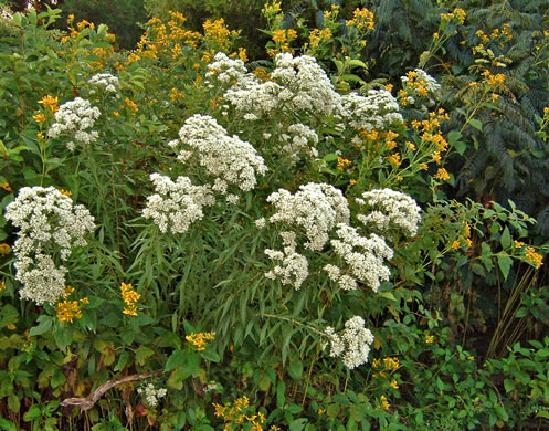 image of Eupatorium altissimum, Tall Thoroughwort, Tall Boneset