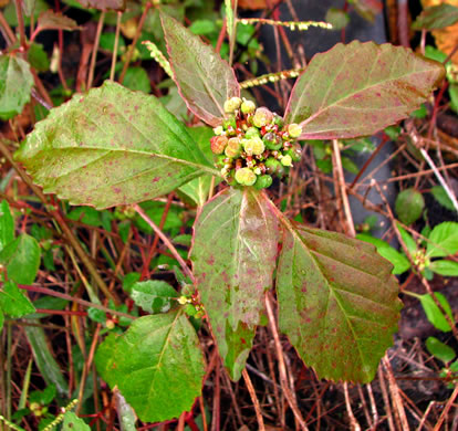 image of Euphorbia dentata, Toothed Spurge, Green Poinsettia, Wild Poinsettia, Painted Leaf