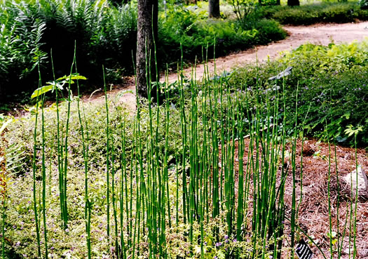 image of Equisetum hyemale ssp. affine, Tall Scouring Rush, River Scouring Rush