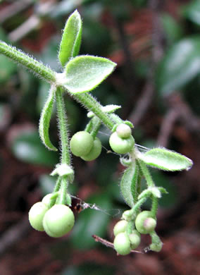 fruit of Galium, Geum and Sanicula species: Galium hispidulum, Galium hispidulum, Galium hispidulum