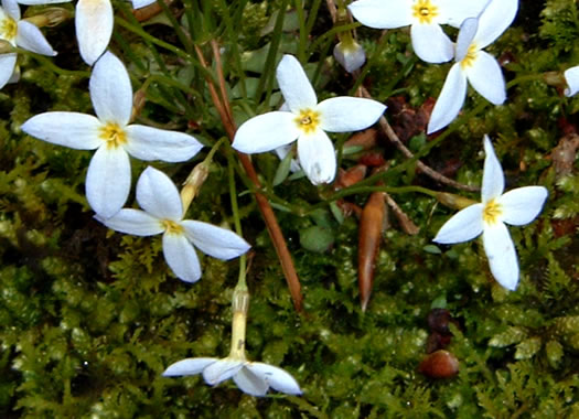 sepals or bracts of Houstonia caerulea, Quaker Ladies, Common Bluet, Innocence, Azure Bluet