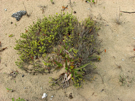 image of Hudsonia tomentosa, Woolly Beach-heather