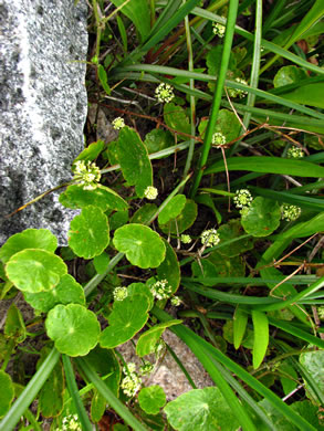 leaf or frond of Hydrocotyle umbellata, Marsh Water-pennywort, Manyflower Marsh-pennywort