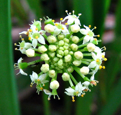 flower of Hydrocotyle umbellata, Marsh Water-pennywort, Manyflower Marsh-pennywort