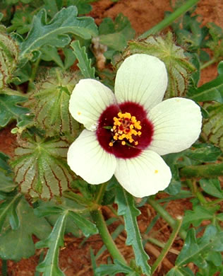 flower of Hibiscus trionum, Flower-of-an-hour
