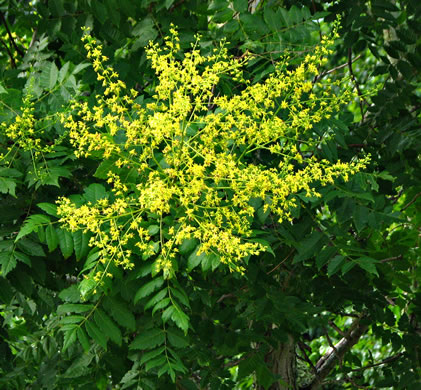 flower of Koelreuteria paniculata, Golden Rain-tree