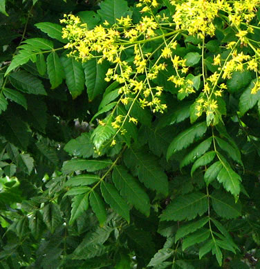 crenate: Koelreuteria paniculata, Golden Rain-tree