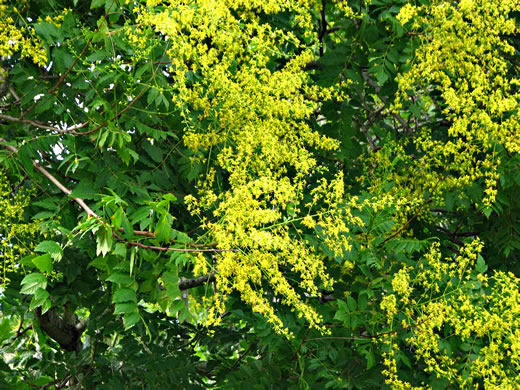image of Koelreuteria paniculata, Golden Rain-tree
