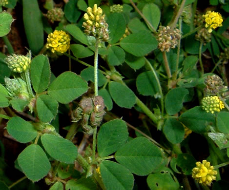 image of Medicago lupulina, Black Medick, Yellow Trefoil