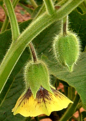 flower of Physalis heterophylla, Clammy Ground-cherry