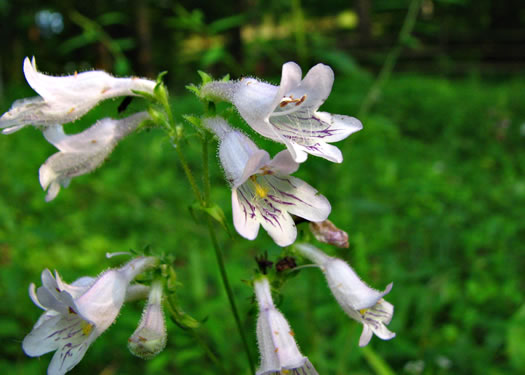 image of Penstemon laevigatus, Smooth Beardtongue, Eastern Beardtongue
