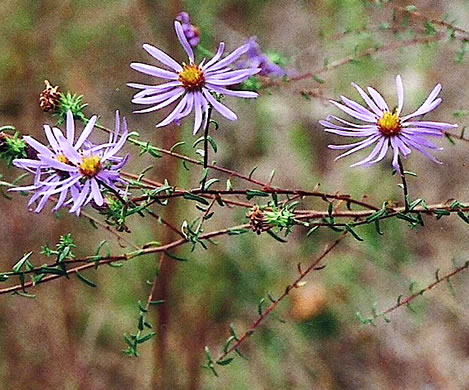 flower of Symphyotrichum grandiflorum, Big-headed Aster, Rough Aster, Large-headed Aster