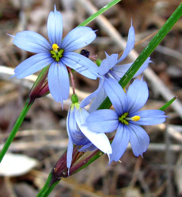 flower of Sisyrinchium mucronatum, Needletip Blue-eyed Grass