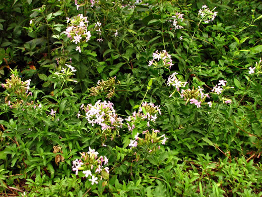 image of Saponaria officinalis, Soapwort, Bouncing Bet