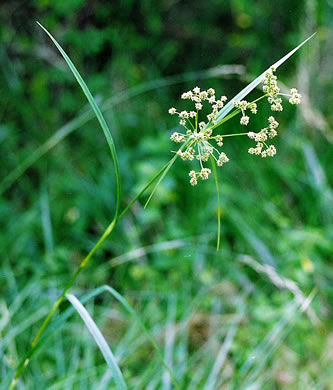 image of Scirpus georgianus, Georgia Bulrush