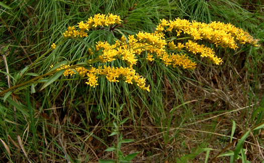 image of Solidago pinetorum, Small's Goldenrod, Pineywoods Goldenrod