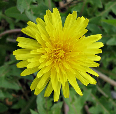flower of Taraxacum erythrospermum, Red-seeded Dandelion