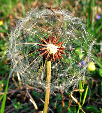 image of Taraxacum erythrospermum, Red-seeded Dandelion