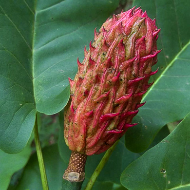fruit of Magnolia fraseri, Fraser Magnolia, Mountain Magnolia, Earleaf Umbrella-tree, Umbrella Tree