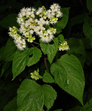image of Ageratina altissima var. altissima, Common White Snakeroot, Common Milk-poison