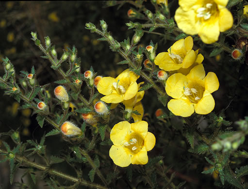image of Aureolaria pectinata, Southern Oak-leach, Sticky False-foxglove