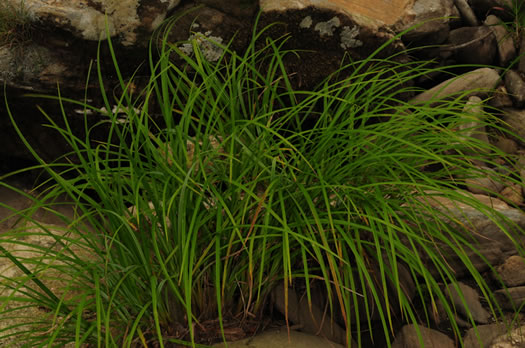 sheath: Carex torta, Twisted Sedge, Streambed Sedge
