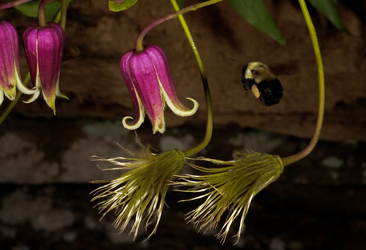 image of Clematis viorna, Northern Leatherflower, Vase-vine